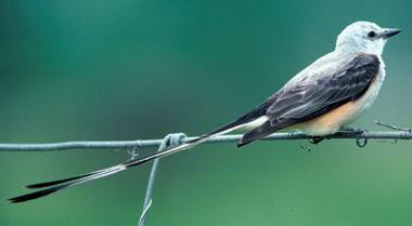 Scissor_tail_Flycatcher3