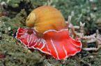 Sea_snail