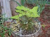 Resurrectionplant